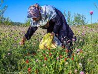 تصاویر/برداشت گل گاوزبان وحشی – ییلاقات گلستان