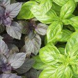 سبزی ضد آلزایمر را بشناسید