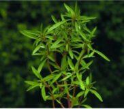 گیاه مرزه کاهش دهنده چربی خون