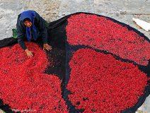 تصاویر/بهشت یاقوت های قرمز